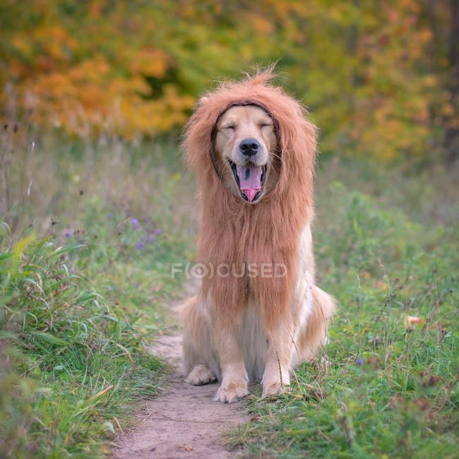 Ritratto di un cane golden retriever che indossa una criniera leone — Foto stock