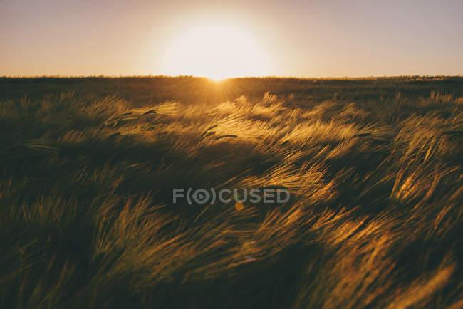 Vista panorámica del campo de trigo al atardecer - foto de stock