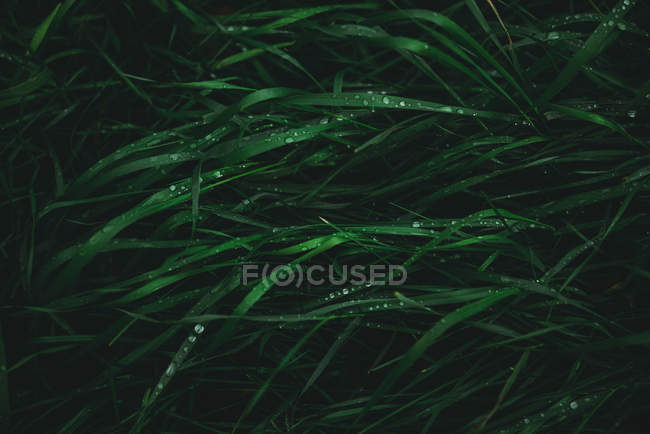 Close-up view of wet grass in drops — Stock Photo