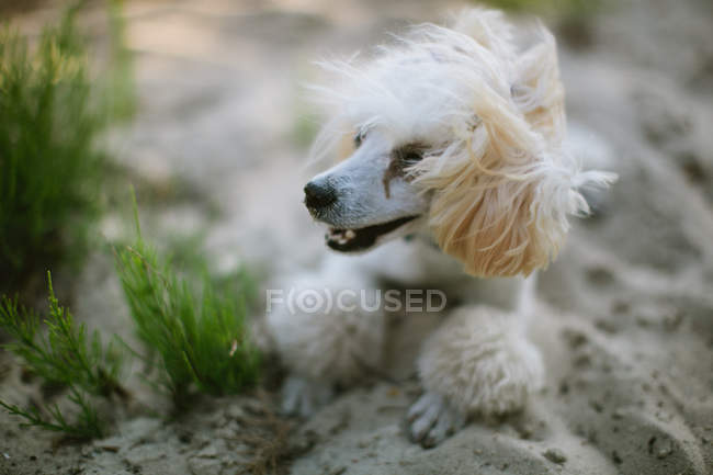 White poodle dog lying on the beach, closeup view — Stock Photo