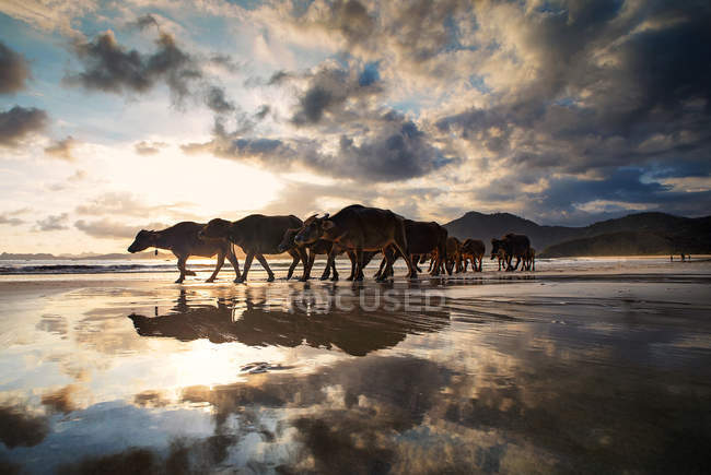 Buffalo walking along the beach at sunset, Lombok, Indonesia — Stock Photo