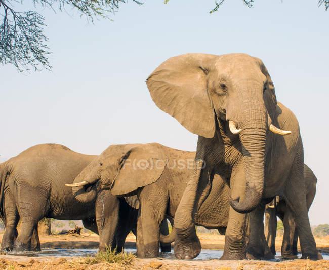 Troupeau d'éléphants dans un trou d'eau, Afrique du Sud — Photo de stock