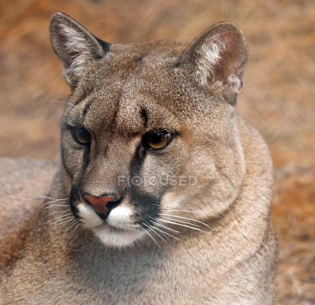 Close-up vista do retrato de um Lynx, Limpopo, África do Sul — Fotografia de Stock