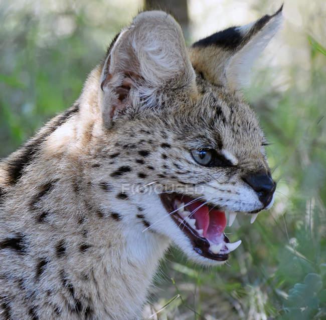 Nahaufnahme des Knurrens der afrikanischen Wildkatze, Limpopo, Südafrika — Stockfoto