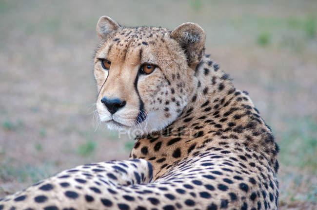 Крупным планом портрет величественного гепарда в дикой природе — стоковое фото