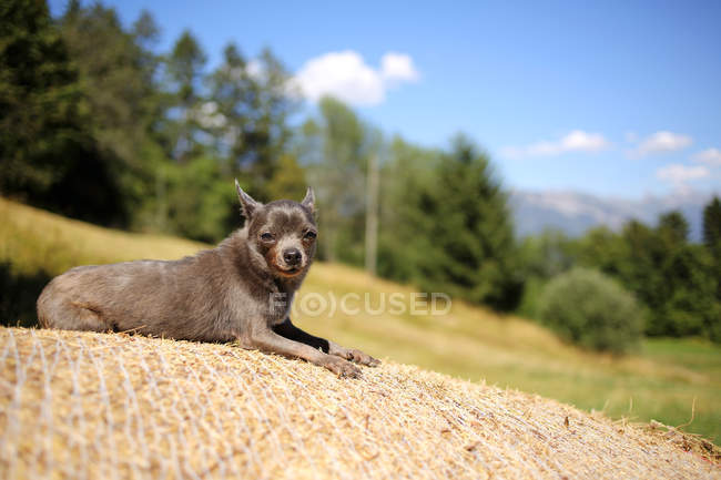 Blue chihuahua dog lying on a hay bale in the sun — Photo de stock