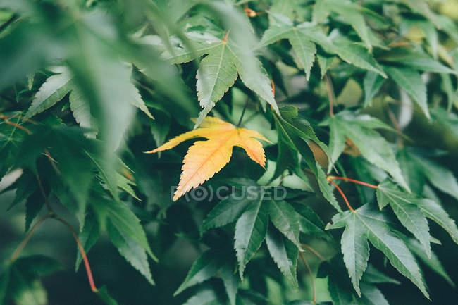 Gelbes Blatt des Japanischen Ahornbaums inmitten grüner Blätter — Stockfoto