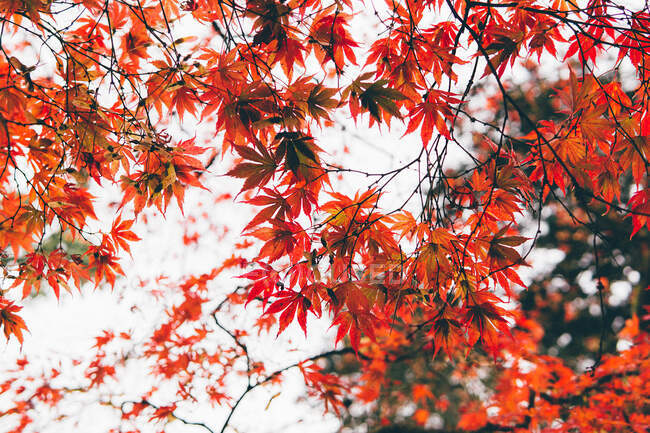 Close up of red leaves on japanese maple tree in autumn — Stock Photo
