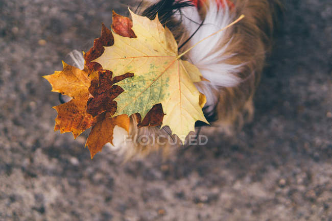 Autumn leaves on a chorkie dog's head — Stock Photo