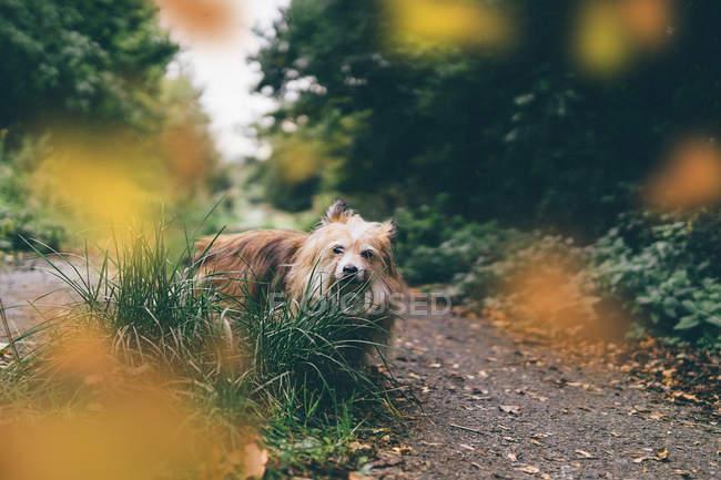 Чоки собака ходить в зеленом лесу, крупным планом зрения — стоковое фото