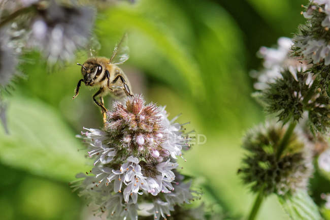 Bee landing on a flower, selective focus macro shot — Stock Photo