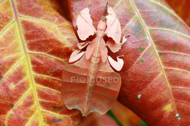 Vue de plan rapproché de l'insecte de Phyllium sur des lames — Photo de stock
