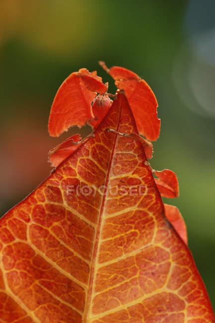 Nahaufnahme von Phyllium Insekt auf Blättern, verschwommen — Stockfoto