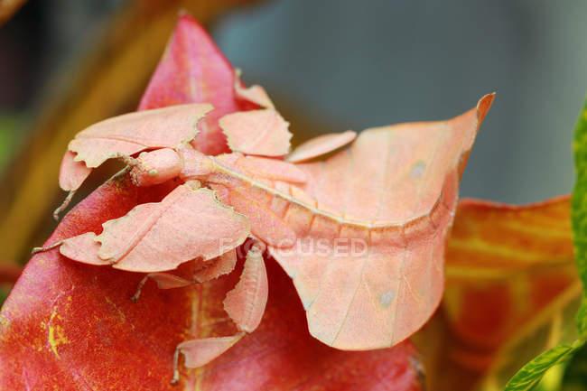 Inseto do phyllium nas folhas de encontro ao fundo borrado — Fotografia de Stock