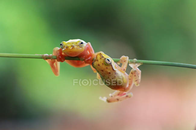 Philautus vittiger frogs, blurred background — Fotografia de Stock