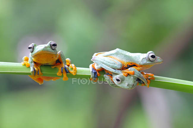 Three javan gliding tree frogs on a plant, closeup view — Stock Photo