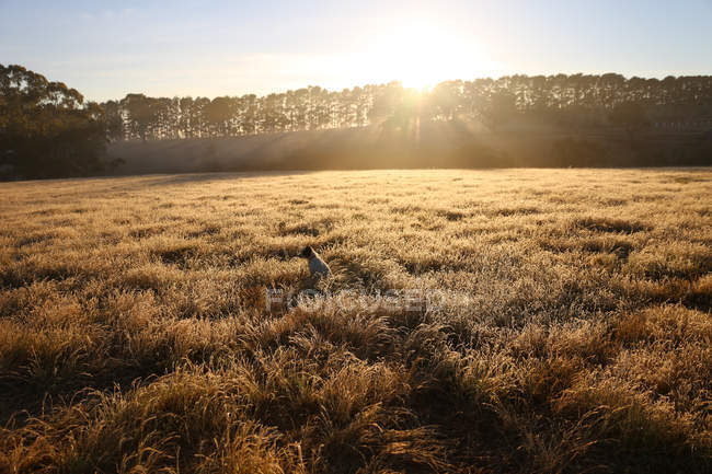 Scenic view of Dog sitting in a field in morning sunlight — Stock Photo