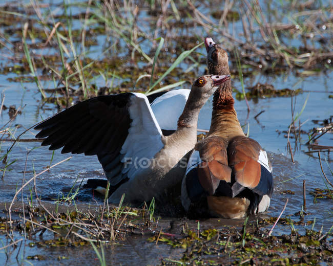 Two wild ducks in a lake, Botswana captured in wild nature — Stock Photo
