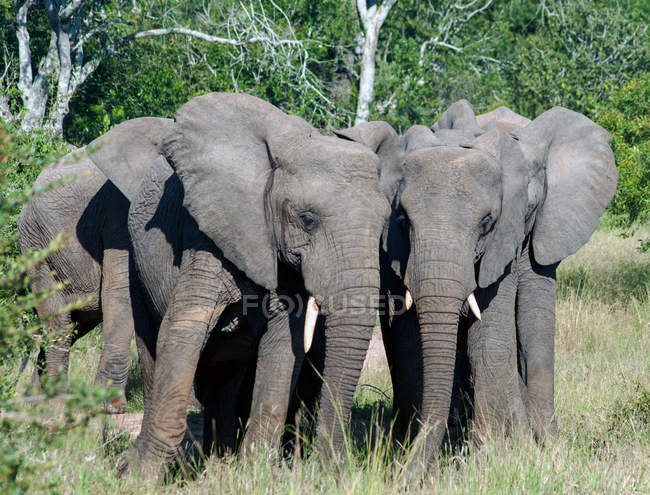 Portrait of Four Elephants, Mpumalanga, South Africa — Stock Photo