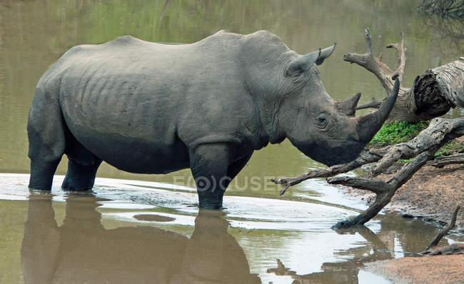 In piedi di rinoceronte nel waterhole, Mpumalanga, Sud Africa — Foto stock