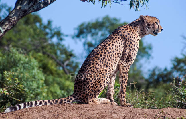 Portrait of a cheetah sitting on a rock, Limpopo, South Africa — Stock Photo
