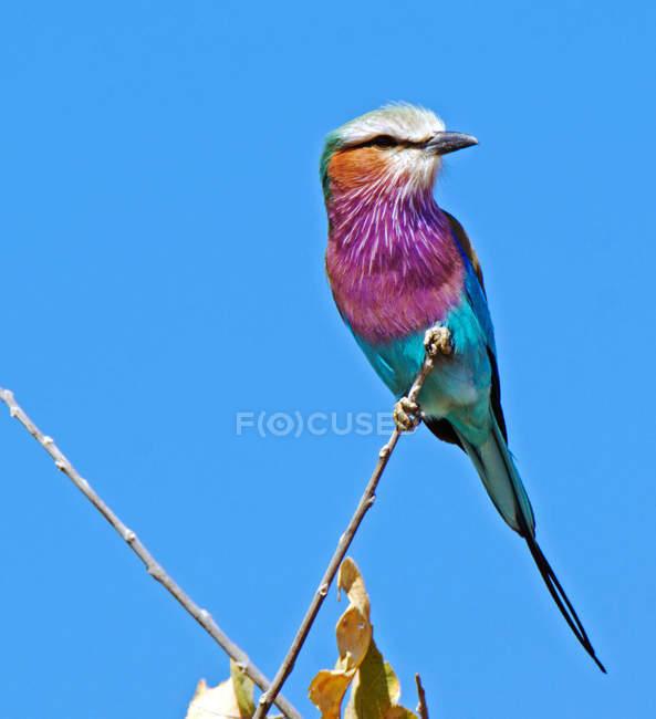 Rouleau à poitrine lilas perché sur une branche, ciel bleu — Photo de stock