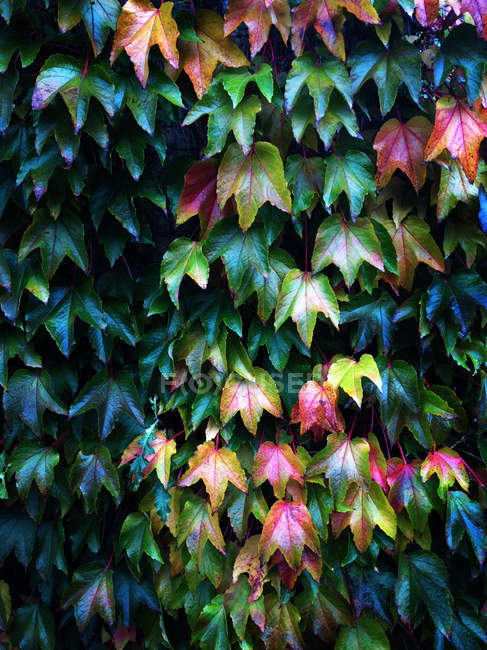 Closeup view of Autumn leaves growing on a wall — Stock Photo