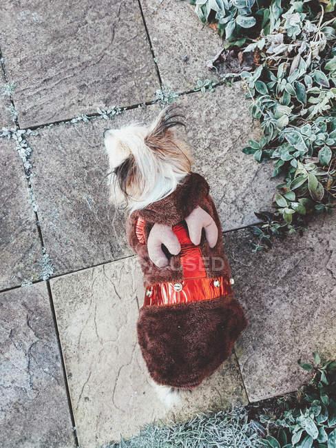 Chorkie собака носить Різдвяний олень екіпірування — стокове фото