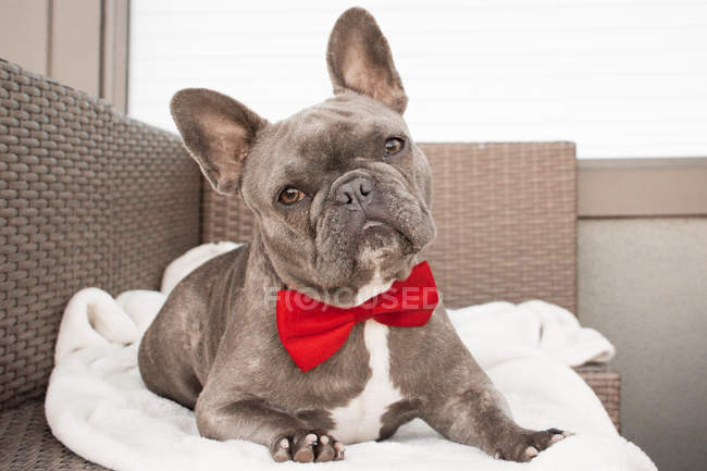 French Bulldog wearing a bow tie, closeup view — Stock Photo