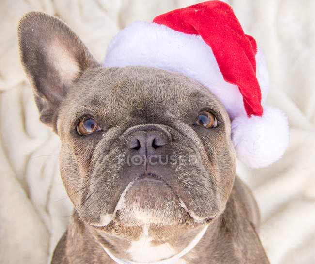 Bulldog francês usando um chapéu de Papai Noel, vista close-up — Fotografia de Stock