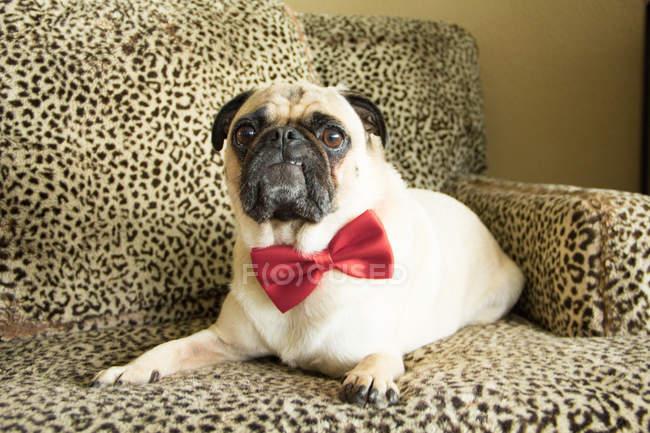 Cão do Pug que desgasta um laço de curva no sofá — Fotografia de Stock
