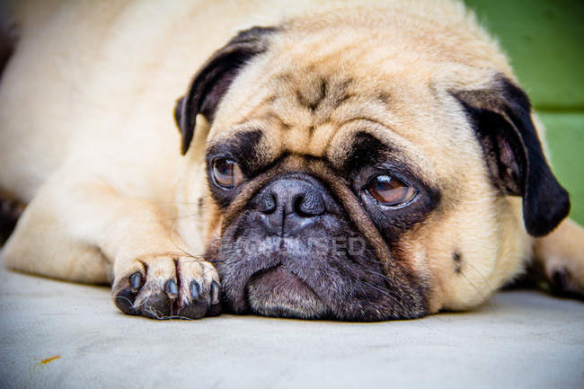 Portrait of a pug dog looking sad, closeup view — Stock Photo