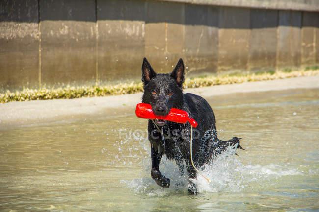 Cão de pastor preto que funciona no oceano com brinquedo — Fotografia de Stock
