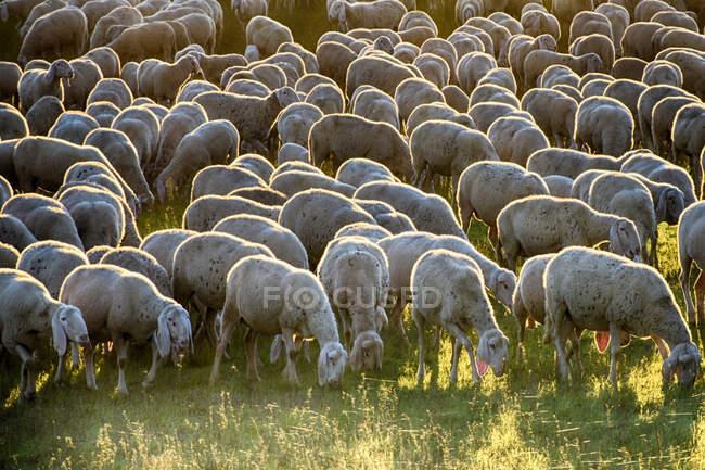 Malerischer Blick auf die Schafherde auf einem Feld — Stockfoto