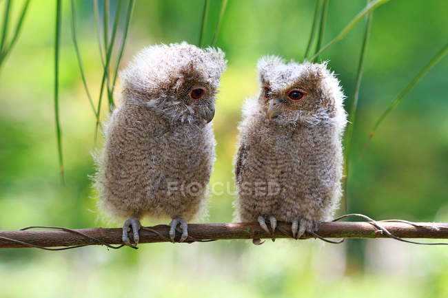 Two baby owls on a branch, Indonesia — Foto stock