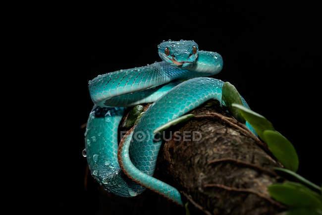Serpiente víbora de foso azul en rama sobre fondo negro - foto de stock