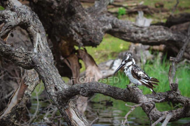 Closeup view of Pied Kingfisher by Chobe River, Botswana — стокове фото