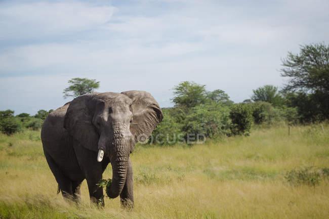 Elefant läuft auf Gras in freier Wildbahn — Stockfoto