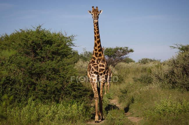 Arenado de jirafas en parque con plantas y árboles, Botswana - foto de stock