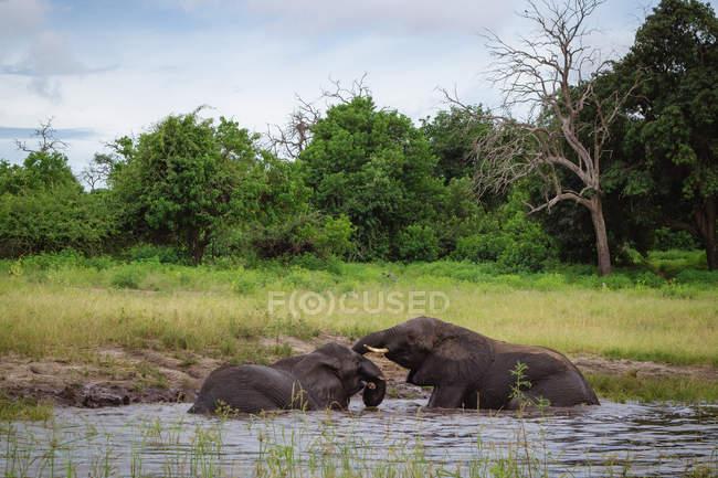 Два слона, играя в реке Чобе, Ботсвана — стоковое фото