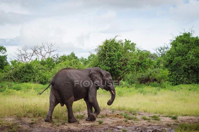 Elefante che cammina dal fiume Chobe, Botswana — Foto stock