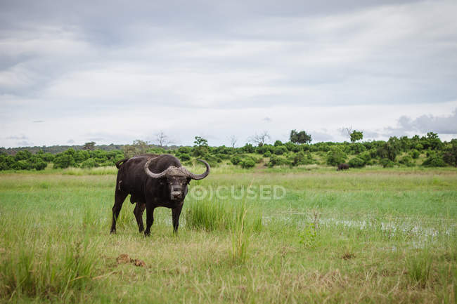 Vue panoramique de Buffalo restant par la rivière Chobe, Botswana — Photo de stock