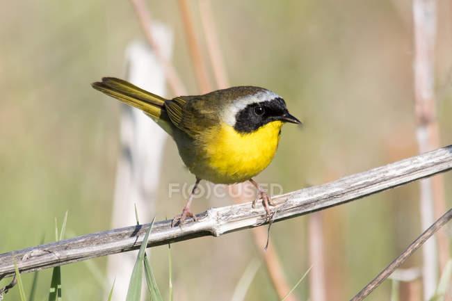 Warbler pássaro empoleirado no ramo contra fundo borrado — Fotografia de Stock