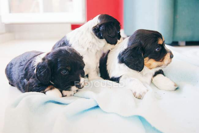 Closeup view of Three Cocker Spaniel Puppy dogs on a bed — Stock Photo