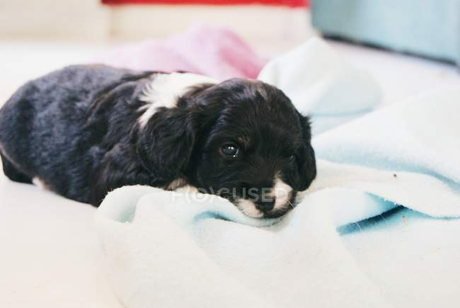Cocker Spaniel Puppy dog sleeping on a blanket — Stock Photo