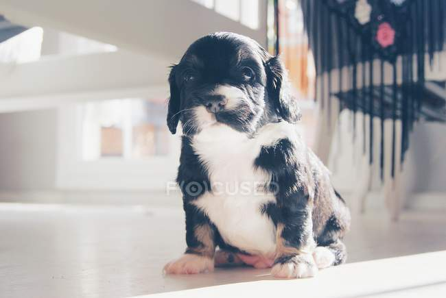 Portrait of a Cocker Spaniel Puppy dog — Stock Photo