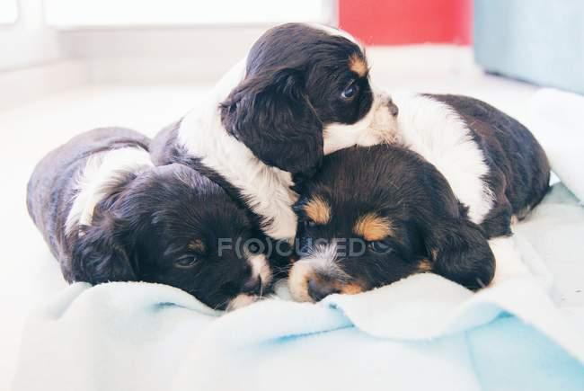 Três cães de filhote de cachorro do spaniel de Cocker em uma cama — Fotografia de Stock