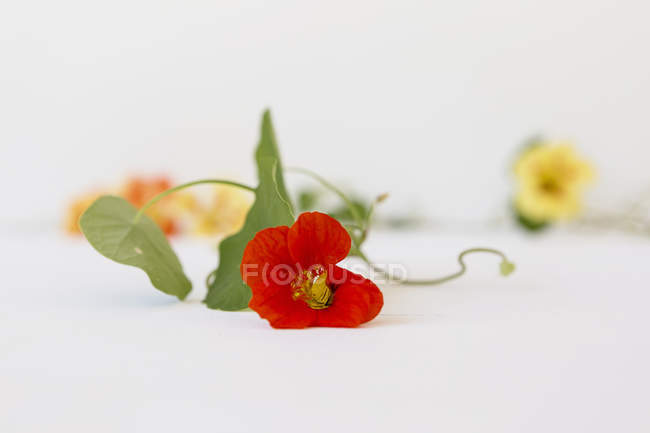 Edible flowers over white table, selective focus — Stock Photo