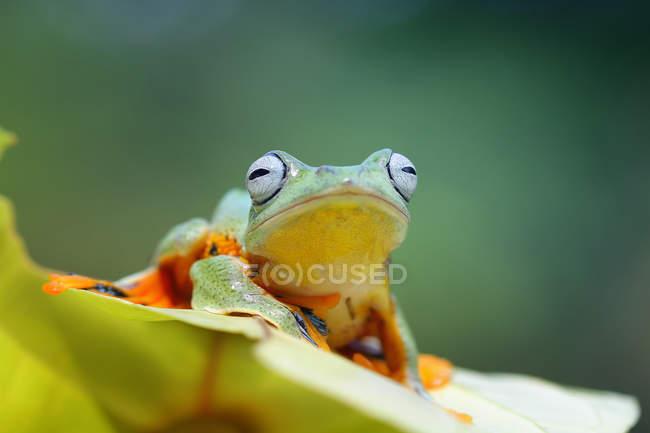 Яванская лягушка, сидящая на листе, вид крупным планом — стоковое фото