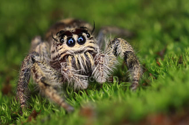 Closeup view of Jumping spider, selective focus — Photo de stock